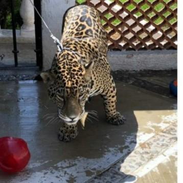 Rescatan a jaguar macho maltratado en domicilio