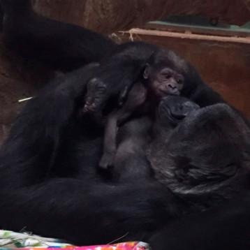 Nace gorila occidental, especie en peligro de extinción